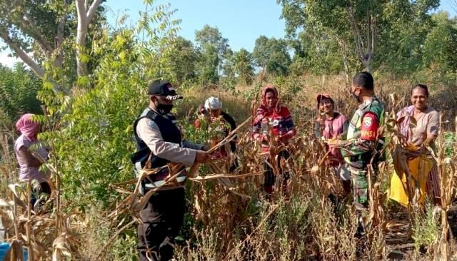 Tingkatkan Ketahanan Pangan di Masa Pademi, TNI-Polri Bersinergi bersama Para Petani di Flotim Gelar Panen Jagung